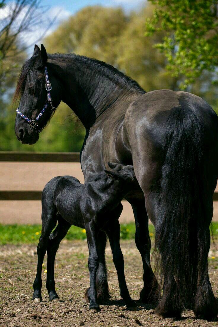 حصان اسود 58