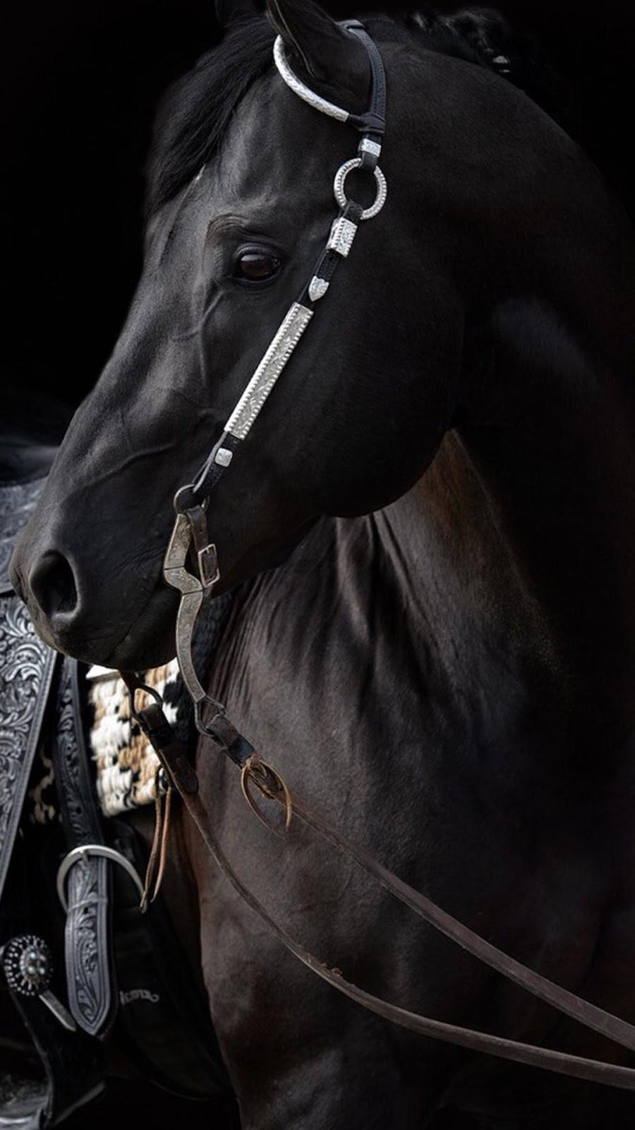 حصان اسود 60