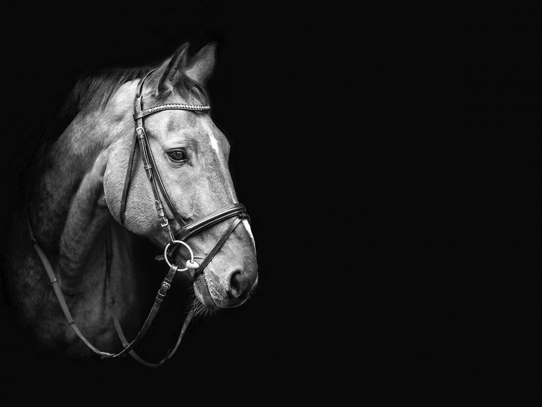 حصان اسود 62