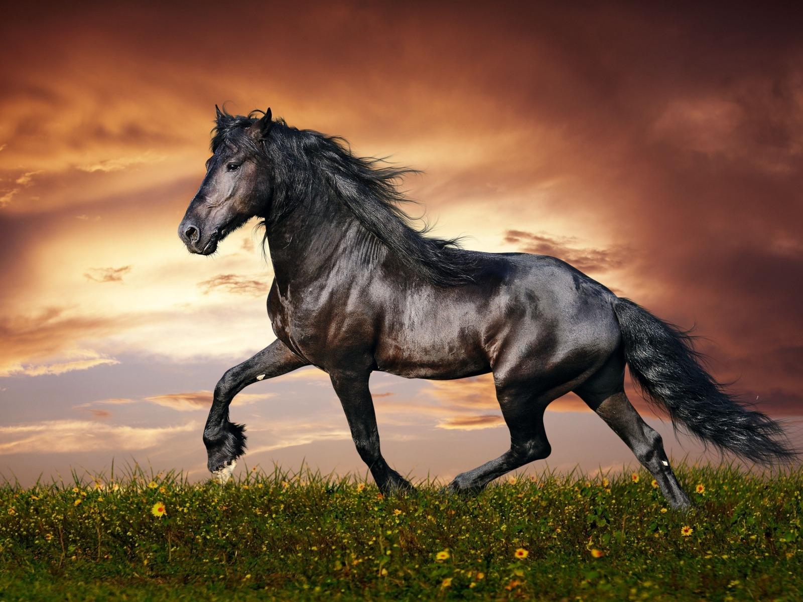 حصان اسود 64