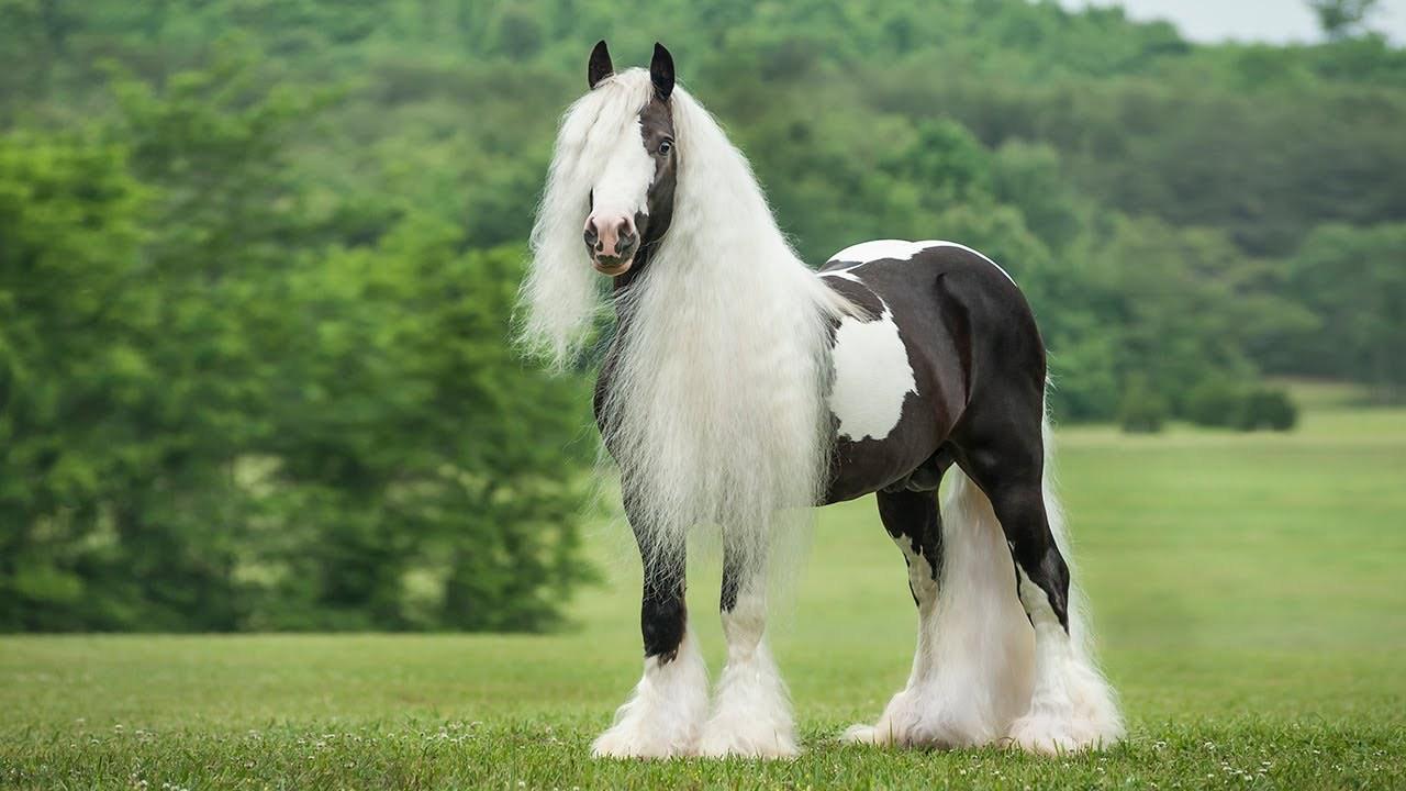 حصان اسود 9