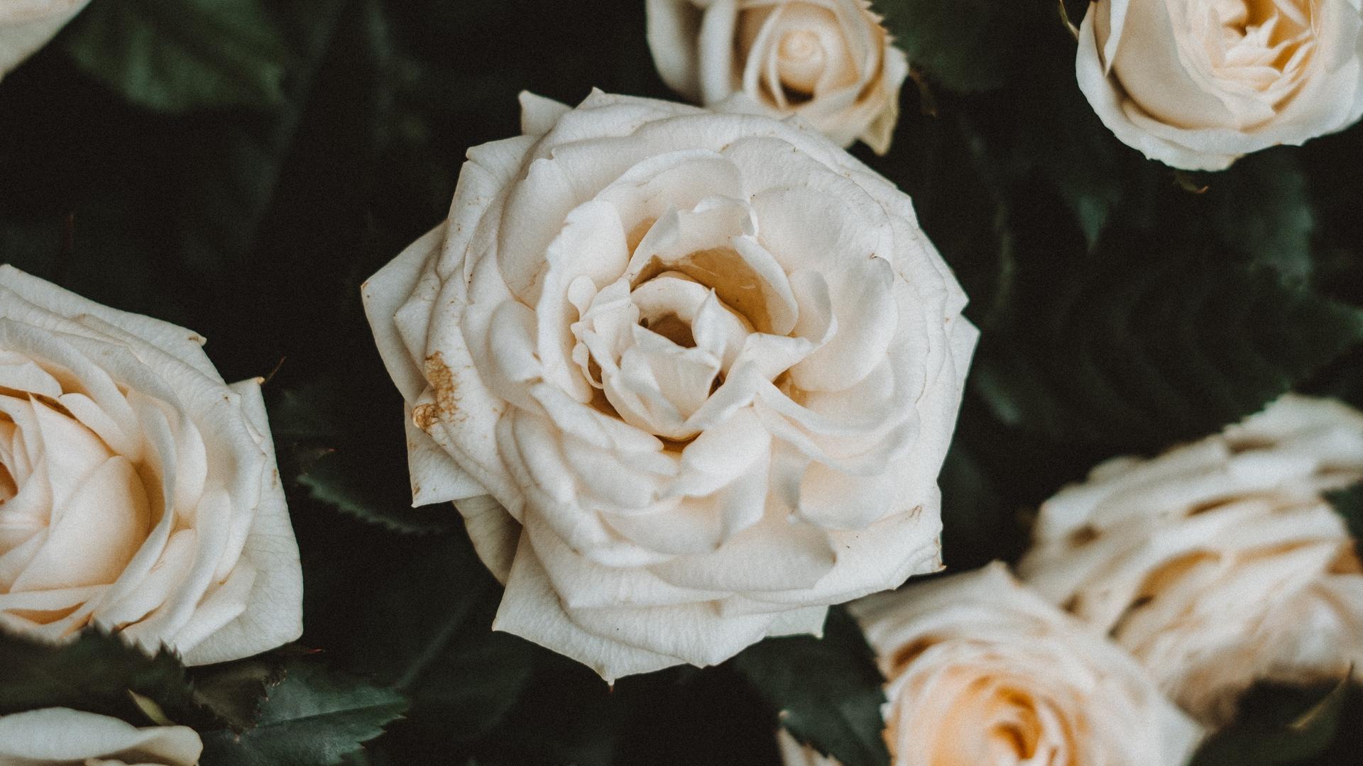 خلفية وردة بيضاء