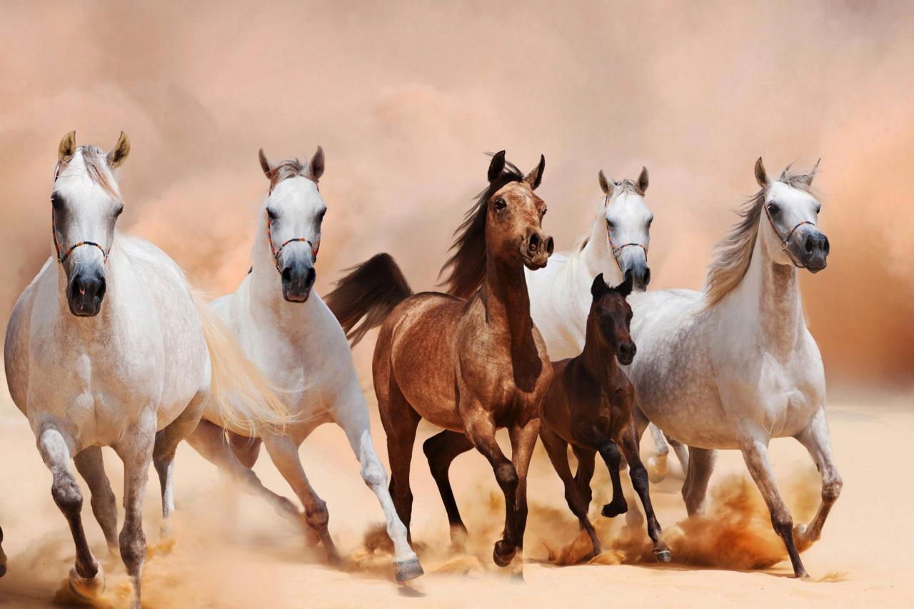 خيول عربية 10