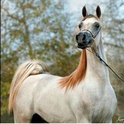 خيول عربية 12