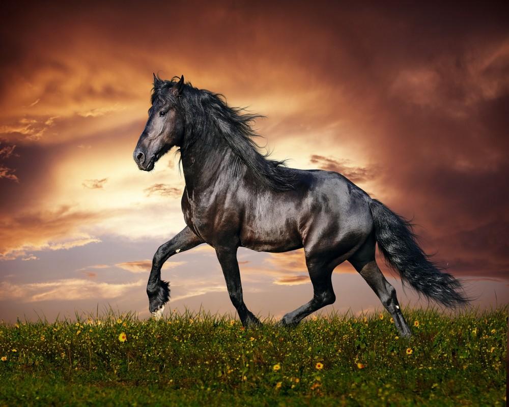 خيول عربية 14