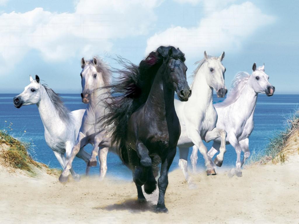 خيول عربية 16