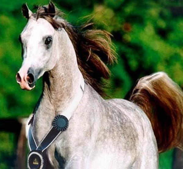 خيول عربية 18