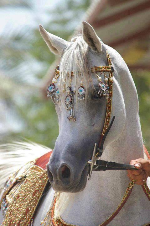 خيول عربية 19
