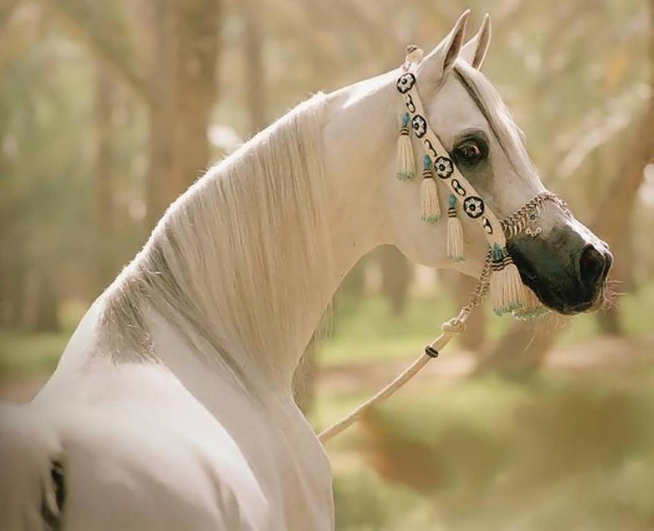 خيول عربية 2
