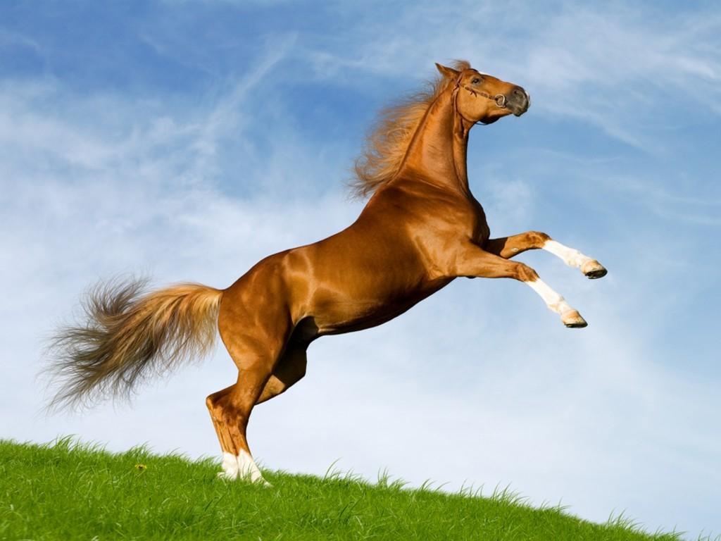 خيول عربية 20