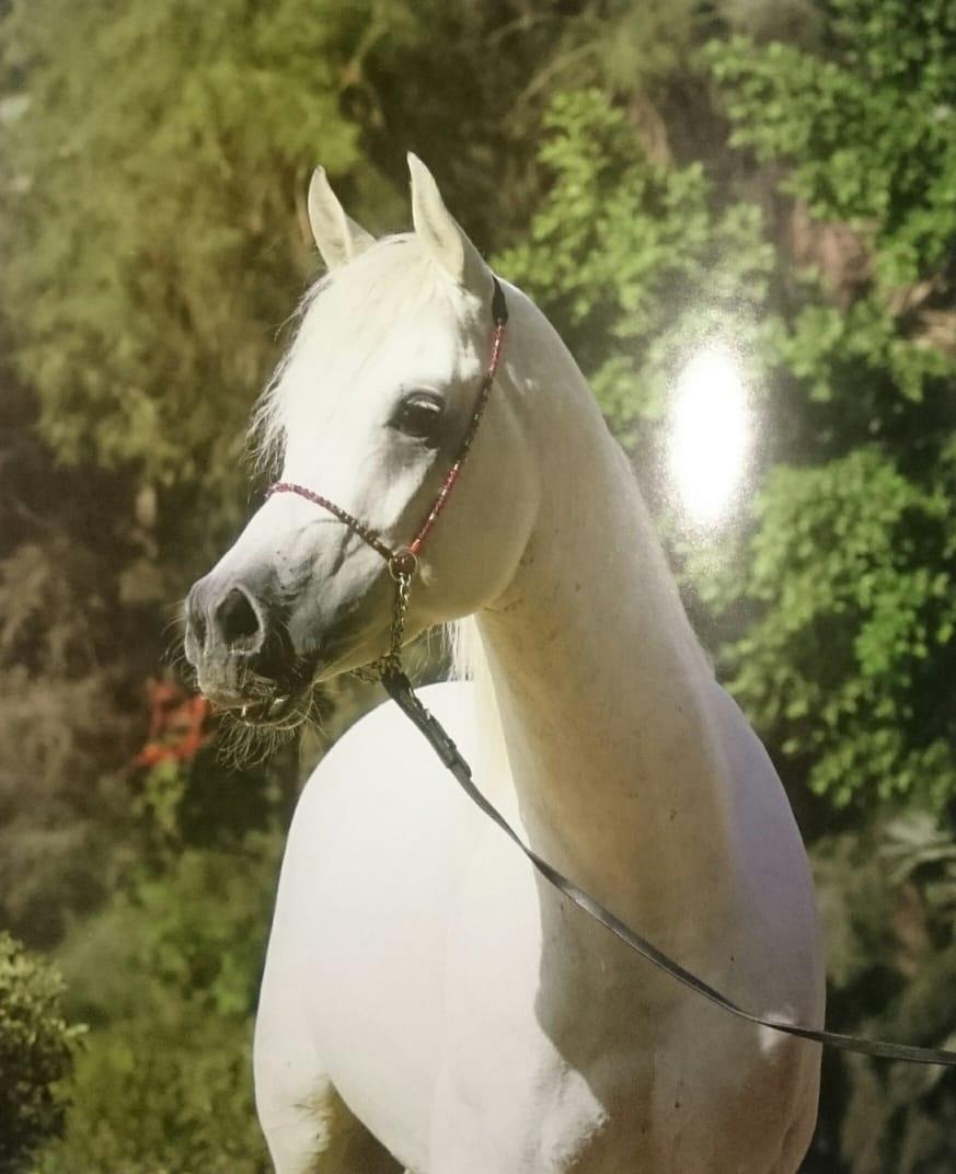خيول عربية 3