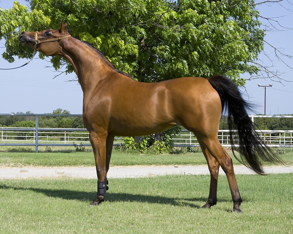 خيول عربية 6
