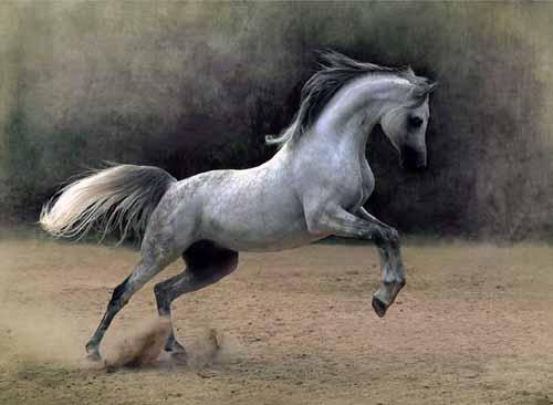 خيول عربية 7