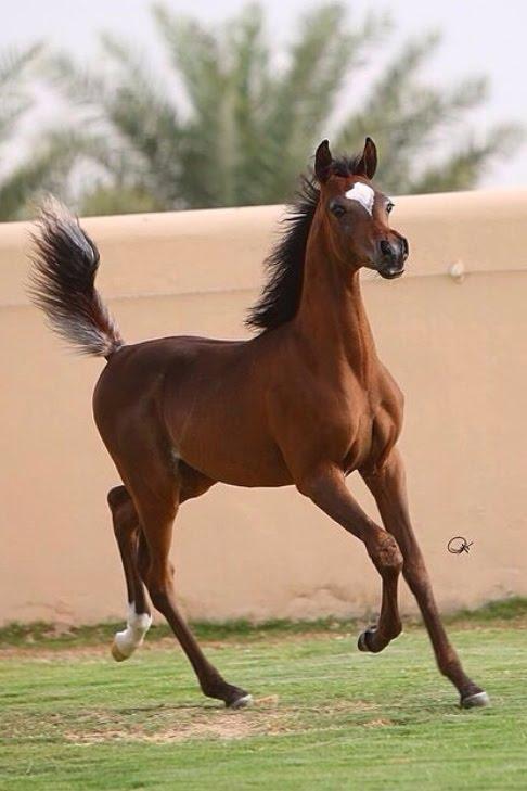 خيول عربية 8