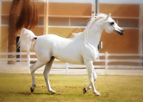خيول عربية 9