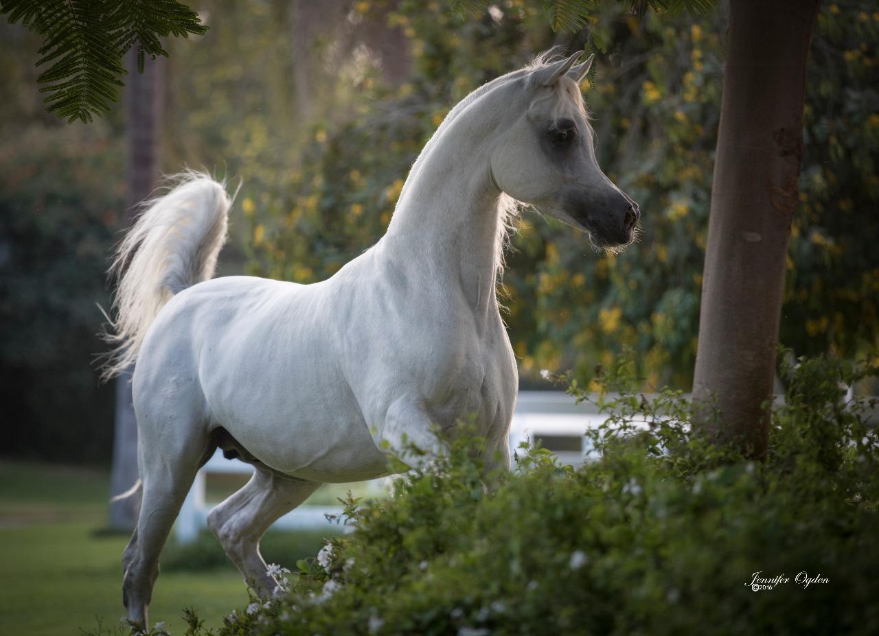 صور خيول 15