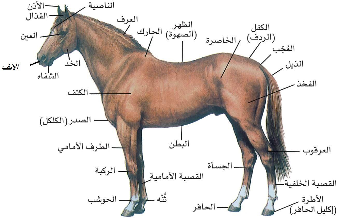 صور خيول 16