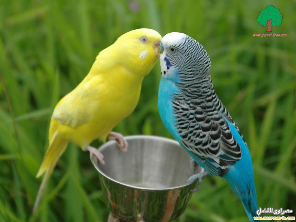 صور طيور الحب 1