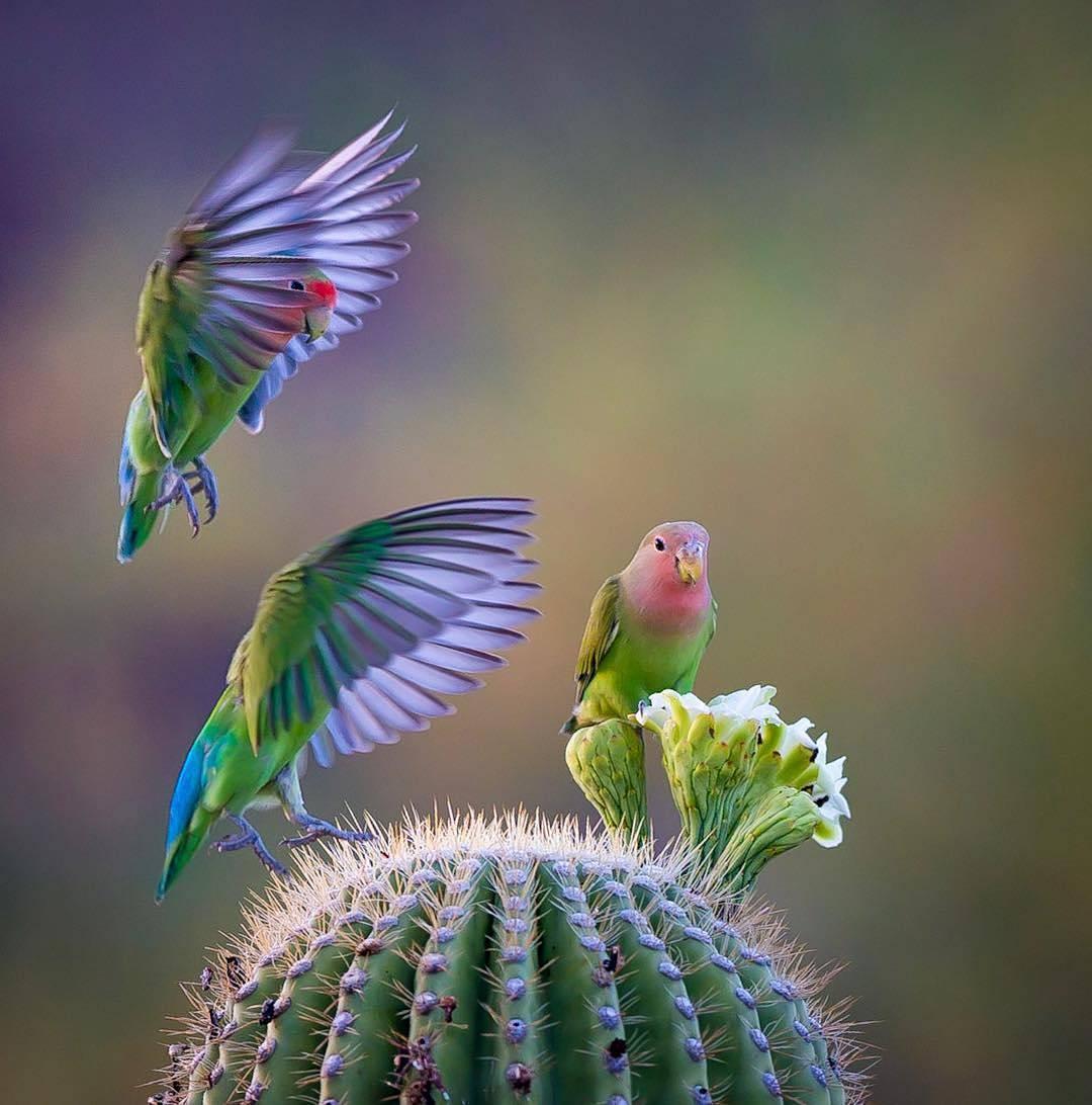 صور طيور الحب 10