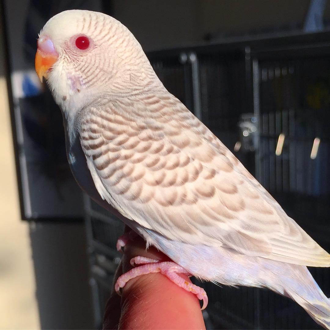 صور طيور الحب 11