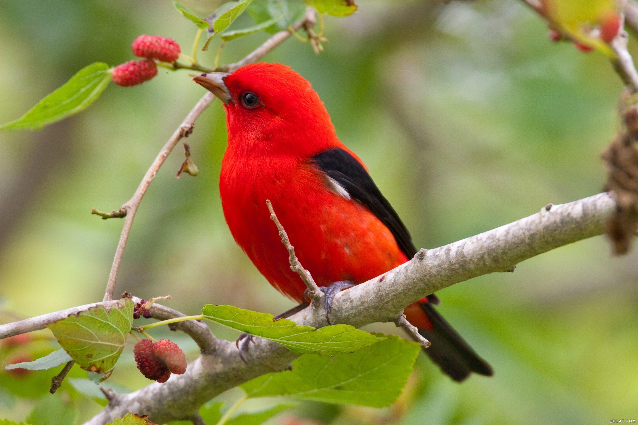 صور طيور الحب 12