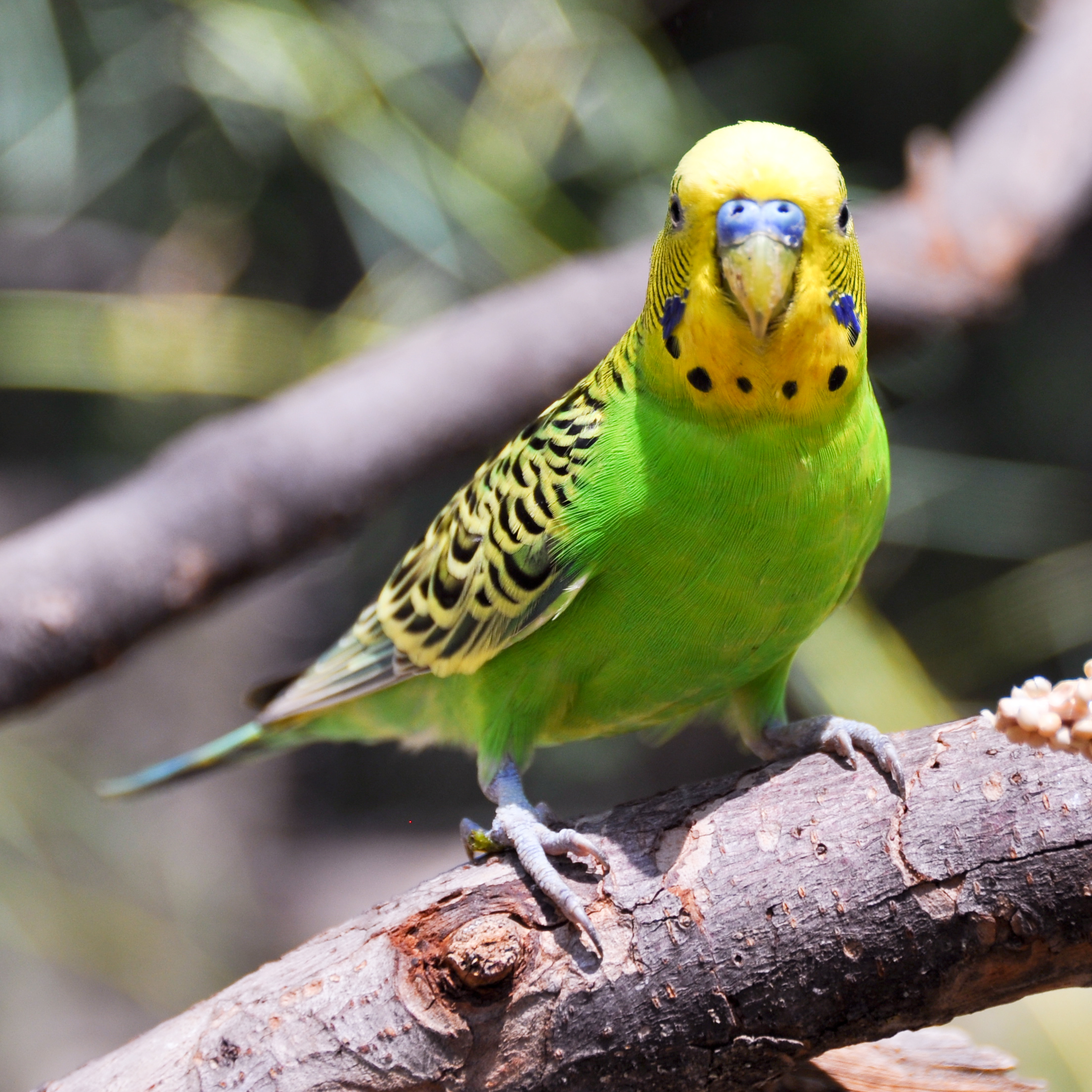 صور طيور الحب 13