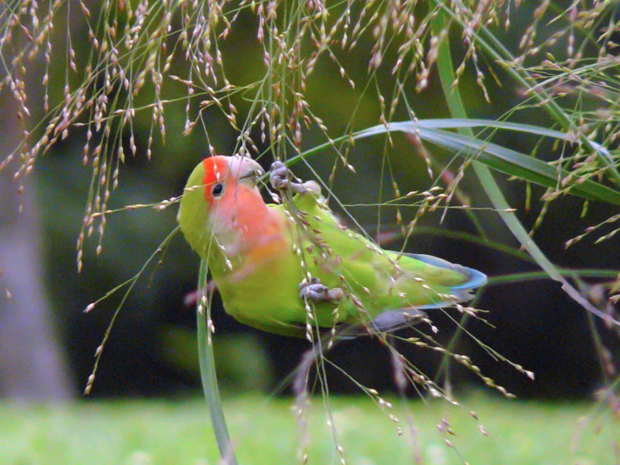 صور طيور الحب 14