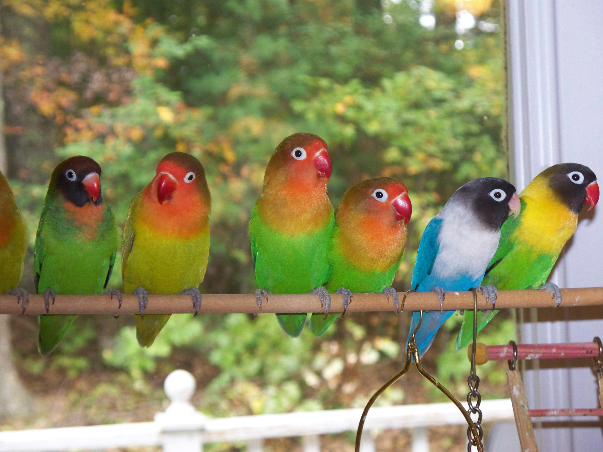 صور طيور الحب 15