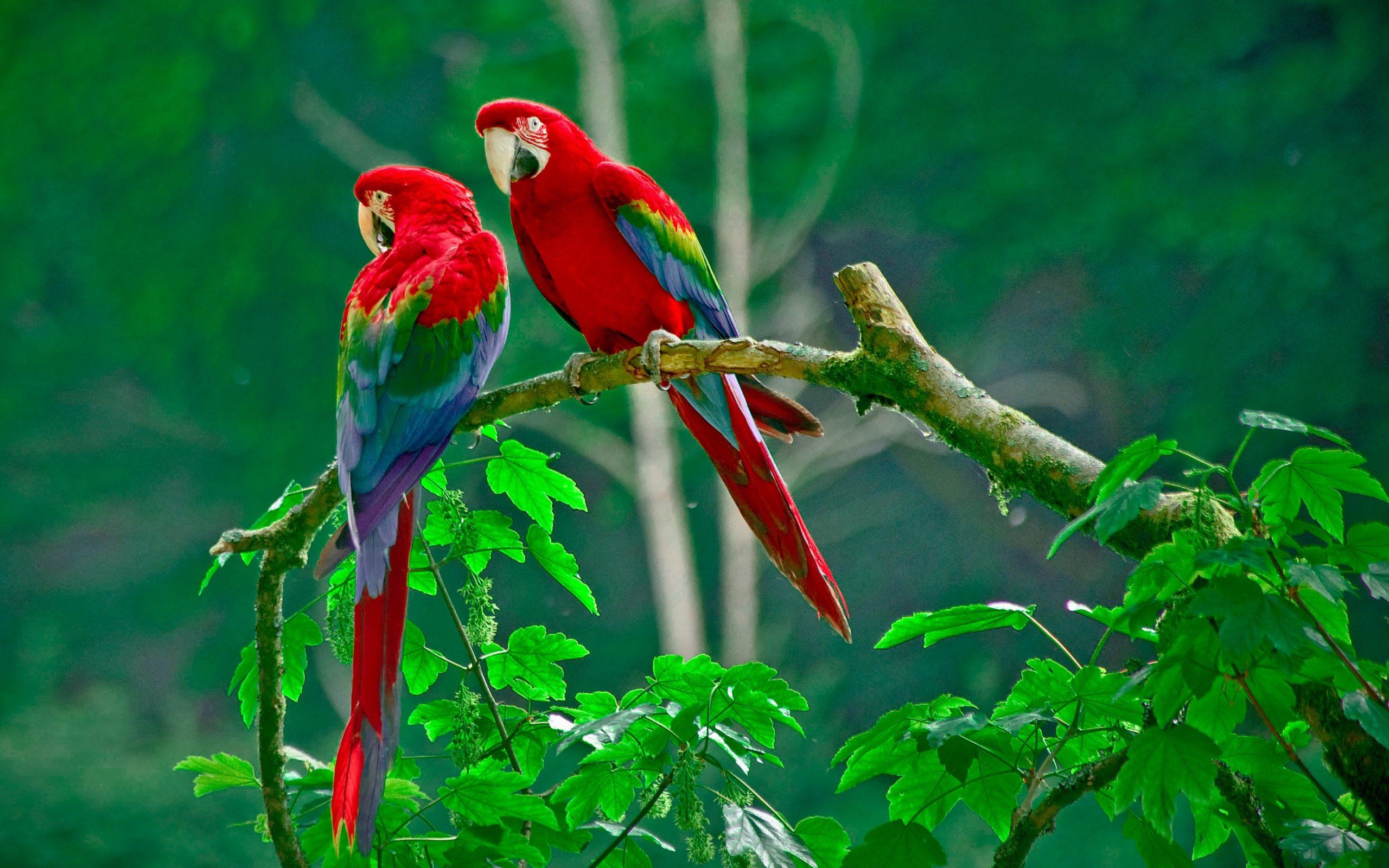 صور طيور الحب 16