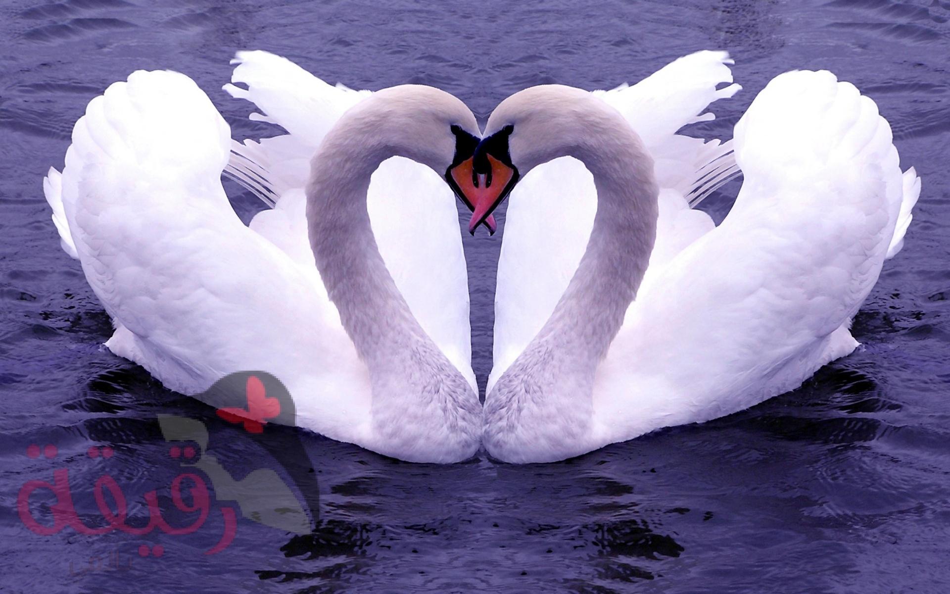 صور طيور الحب 18