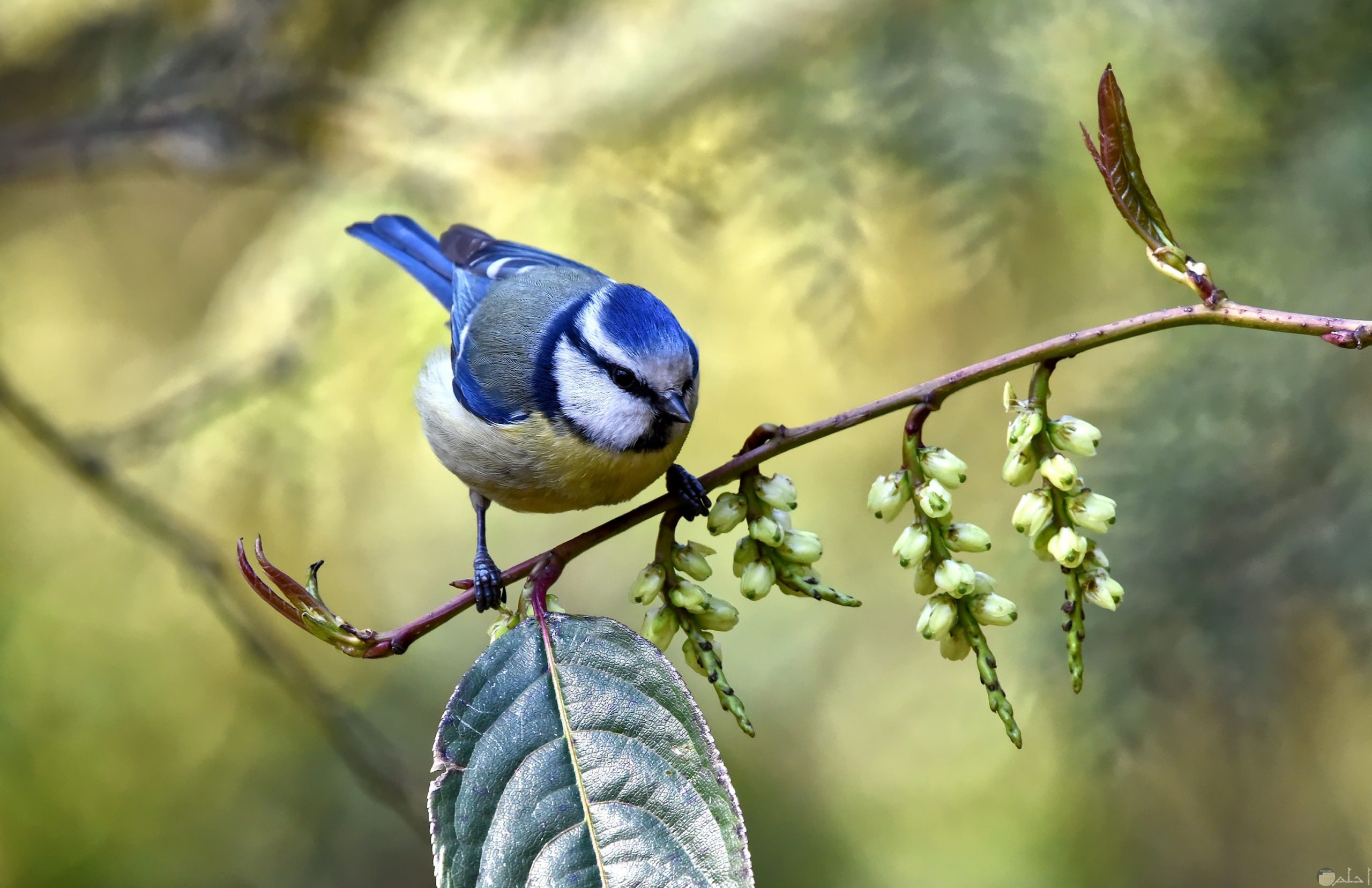 صور طيور الحب 19