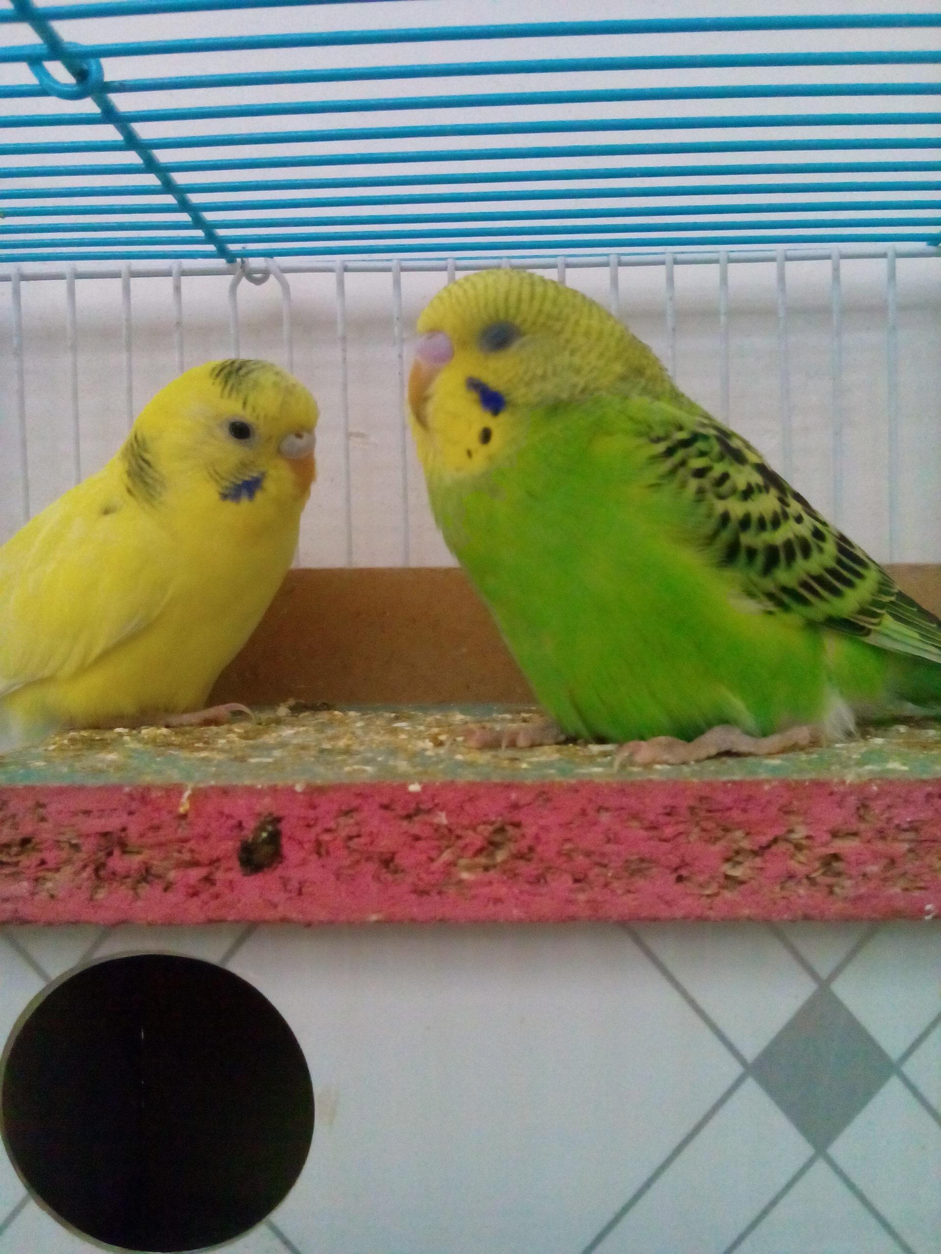 صور طيور الحب 23