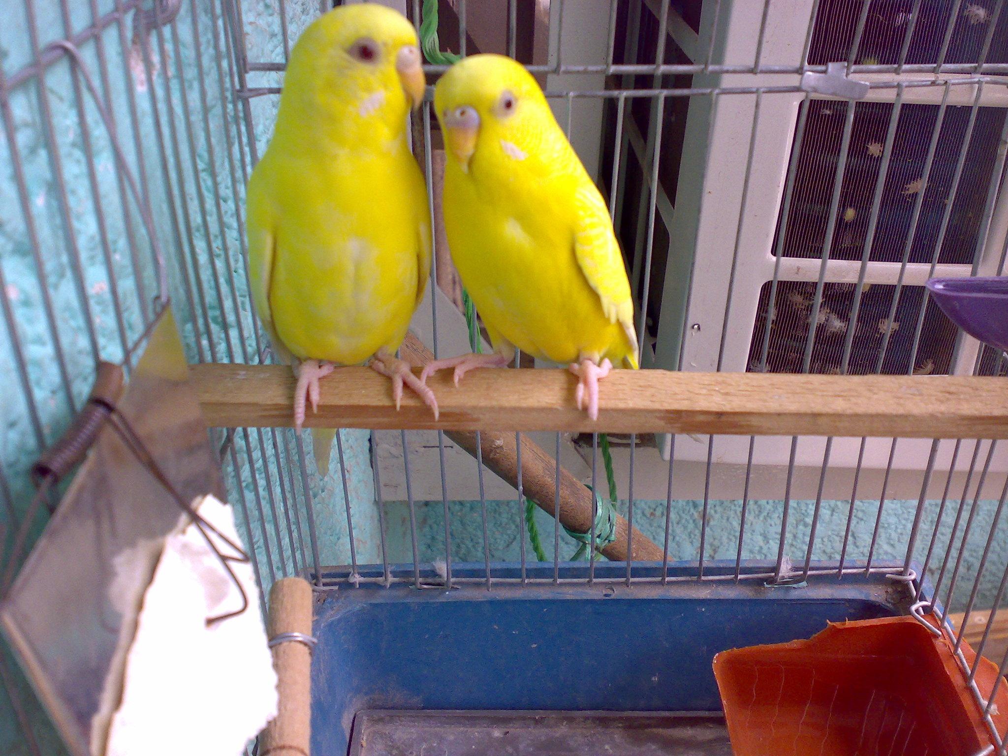 صور طيور الحب 25