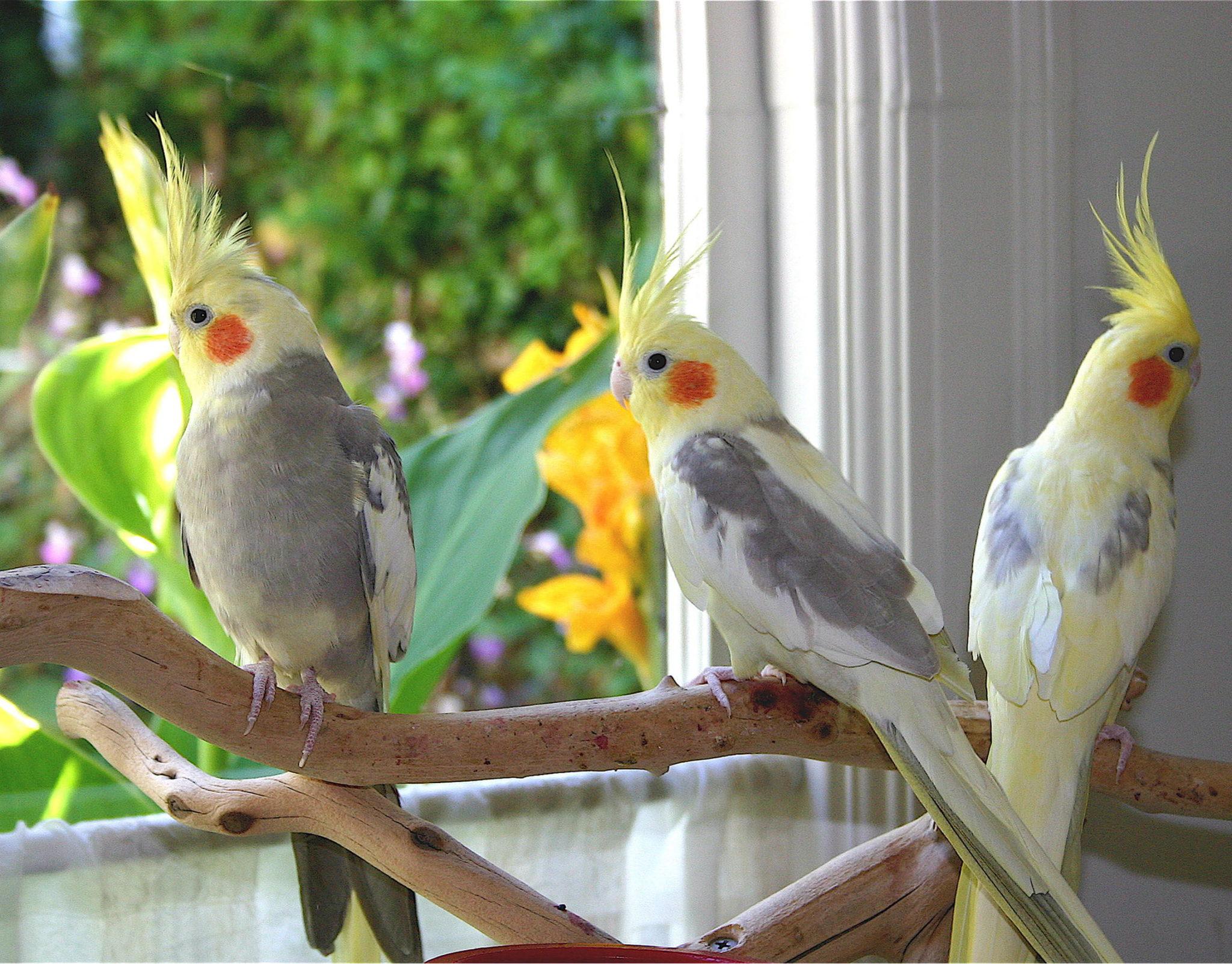 صور طيور الحب 26