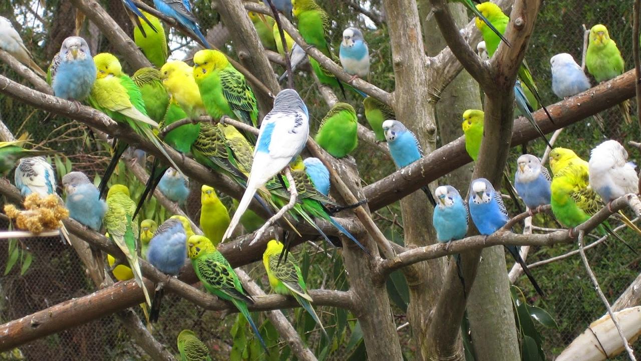صور طيور الحب 30