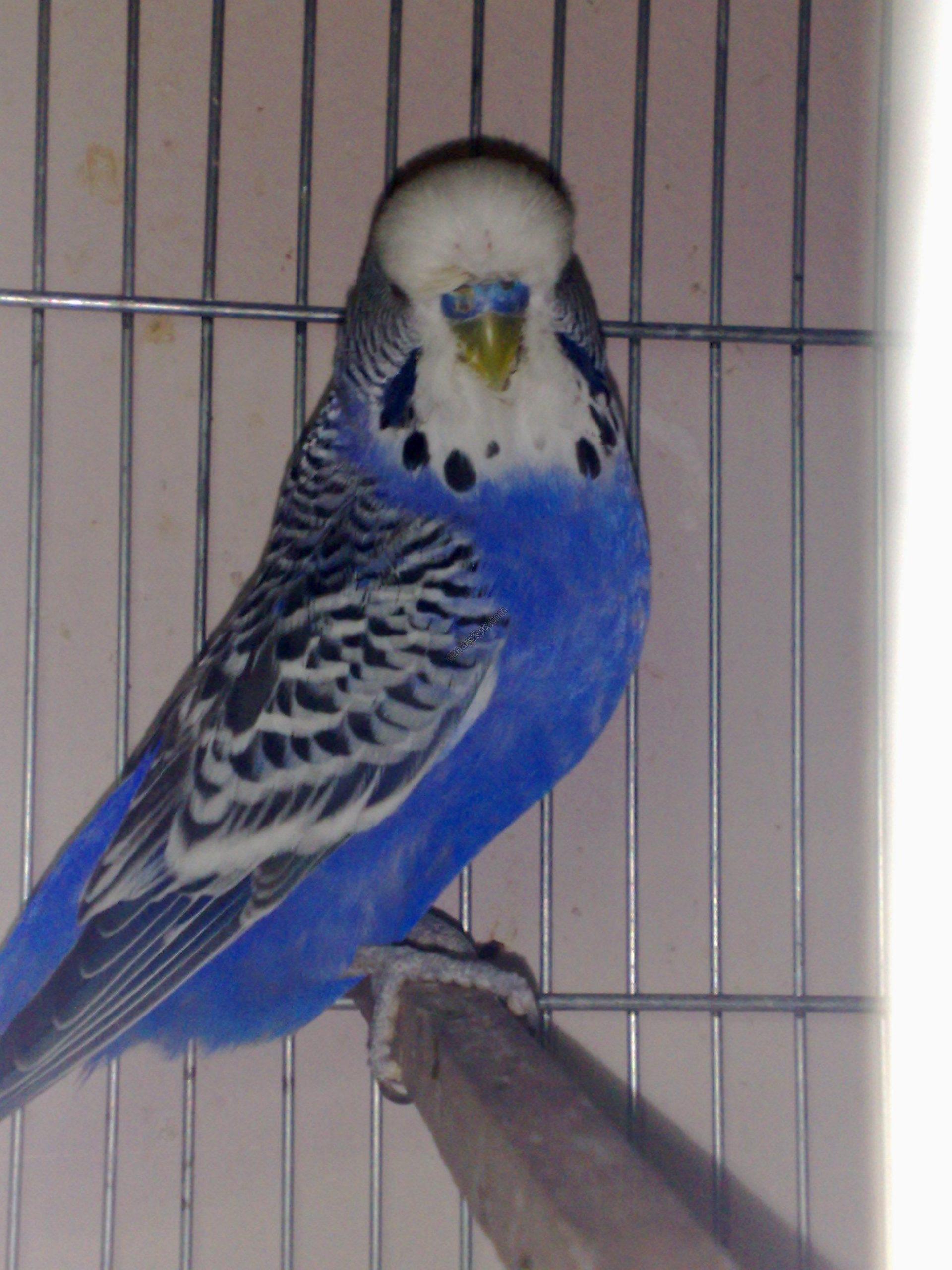 صور طيور الحب 32