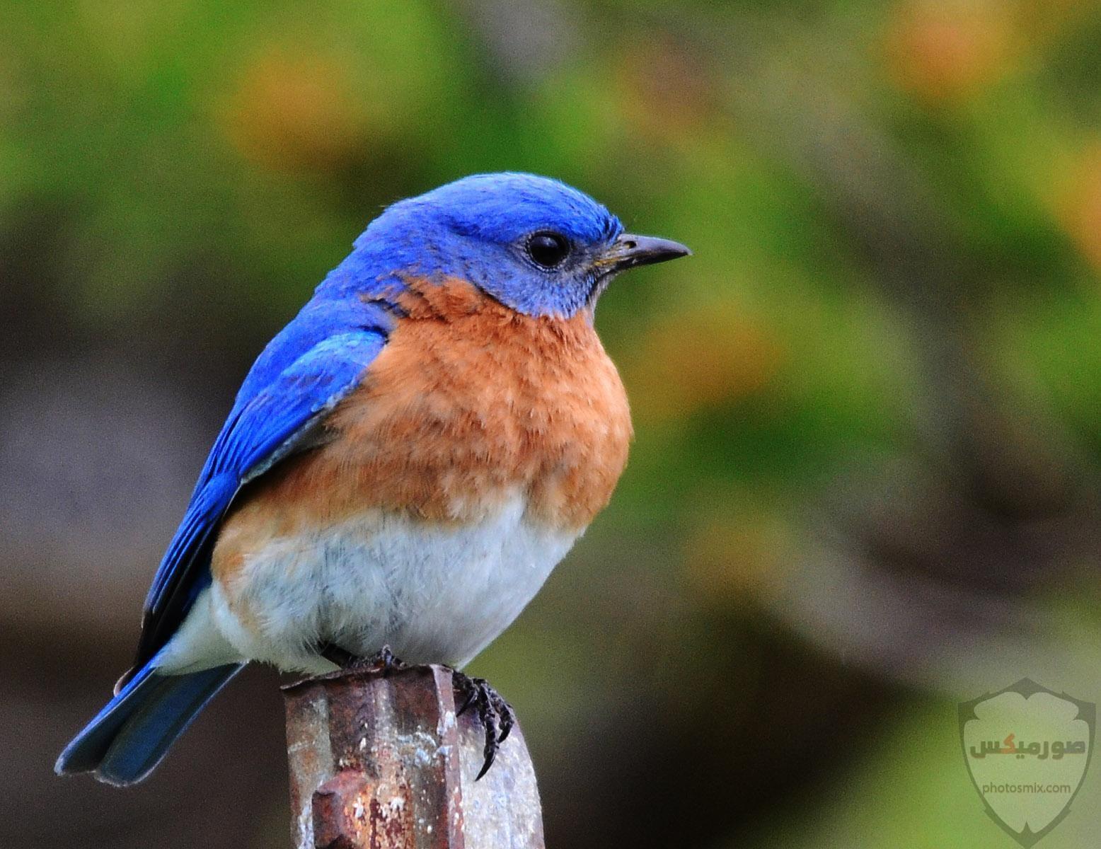 صور طيور الحب 35