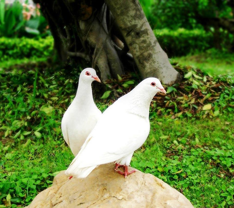 صور طيور الحب 37