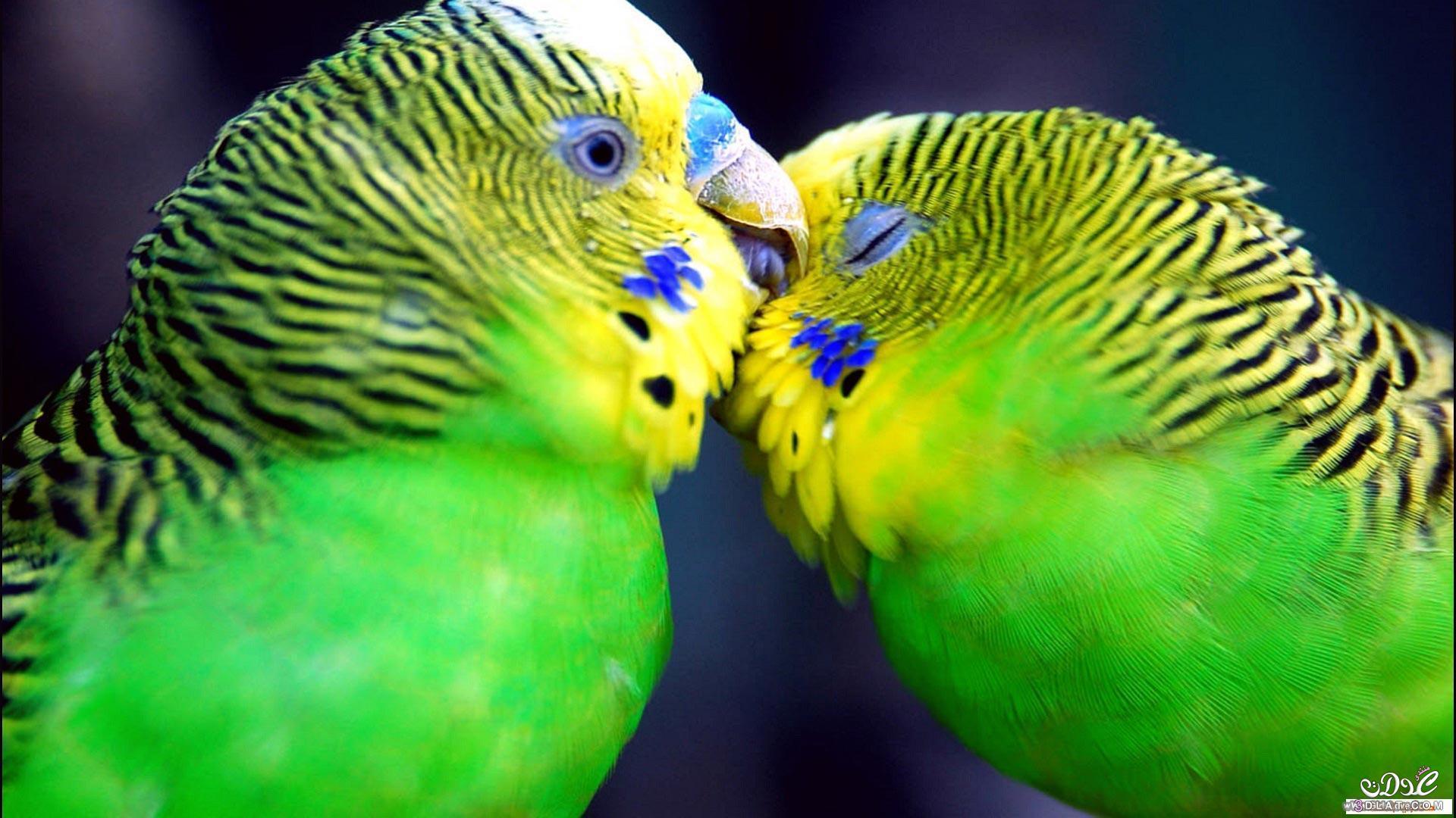 صور طيور الحب 38