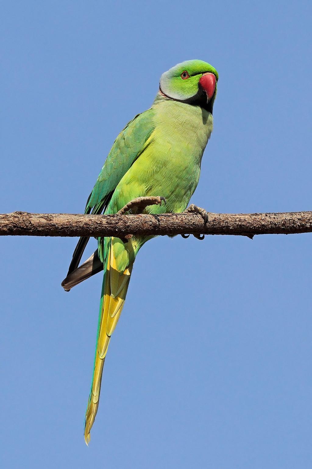 صور طيور الحب 39