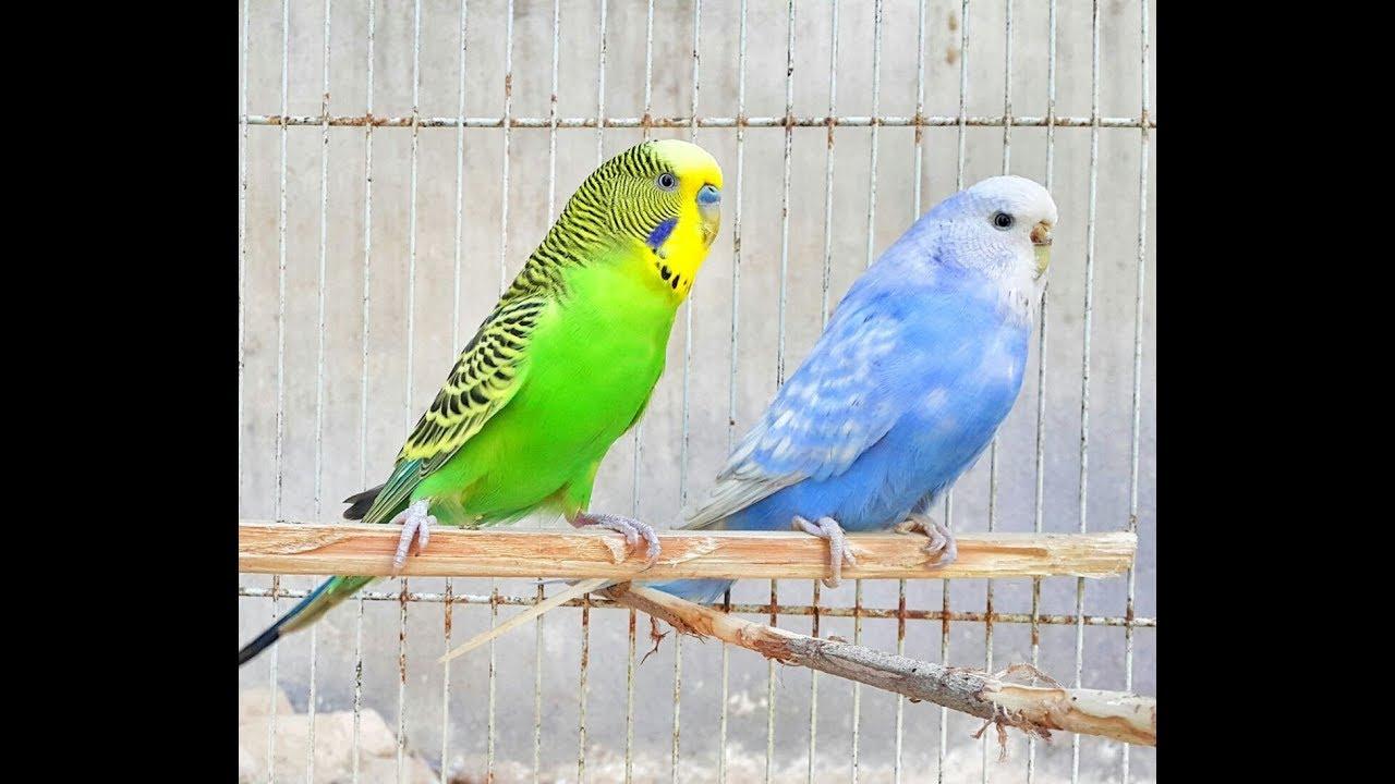 صور طيور الحب 4