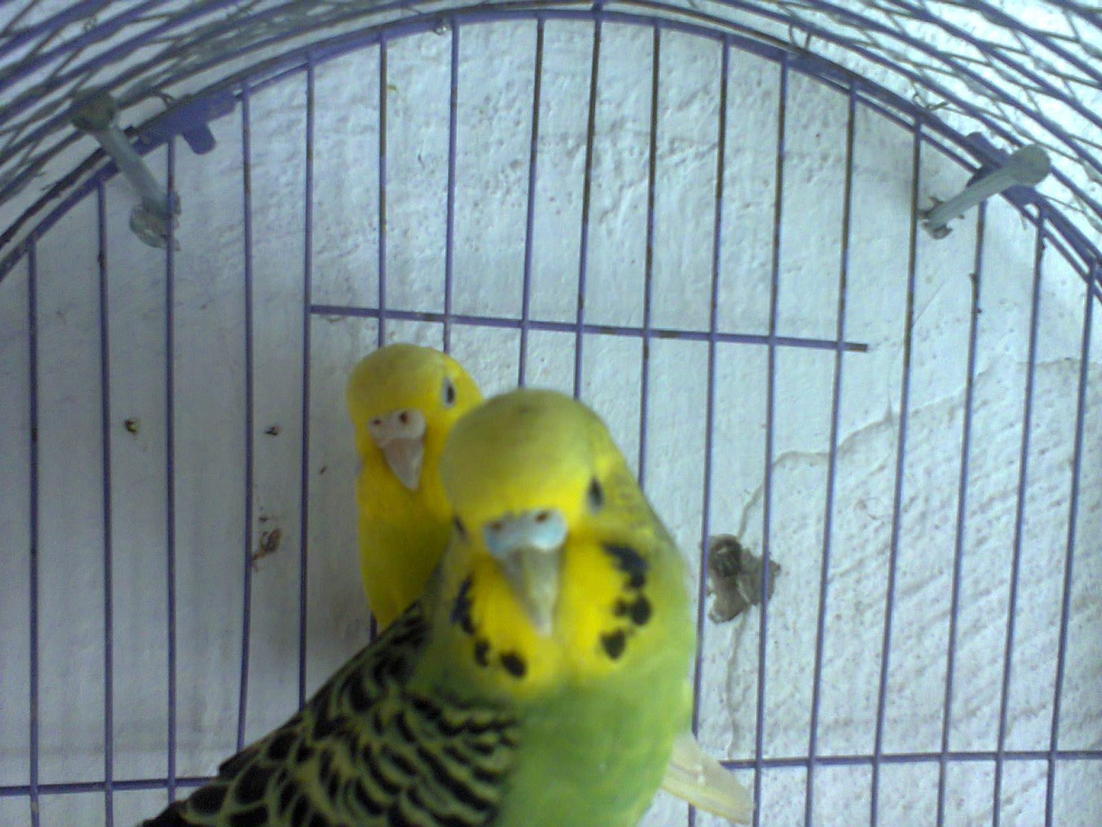 صور طيور الحب 40