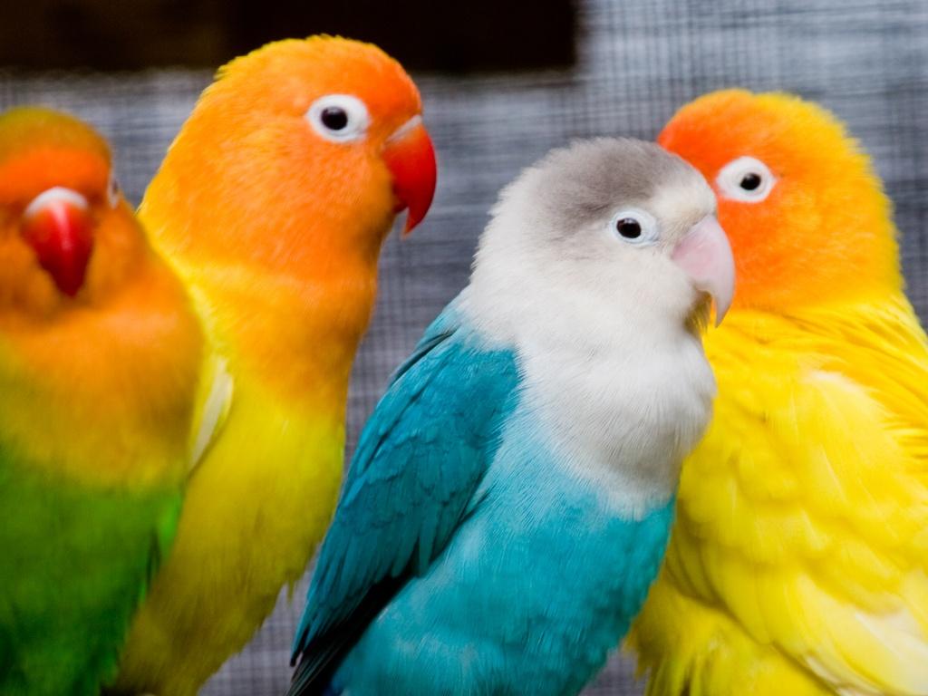 صور طيور الحب 41