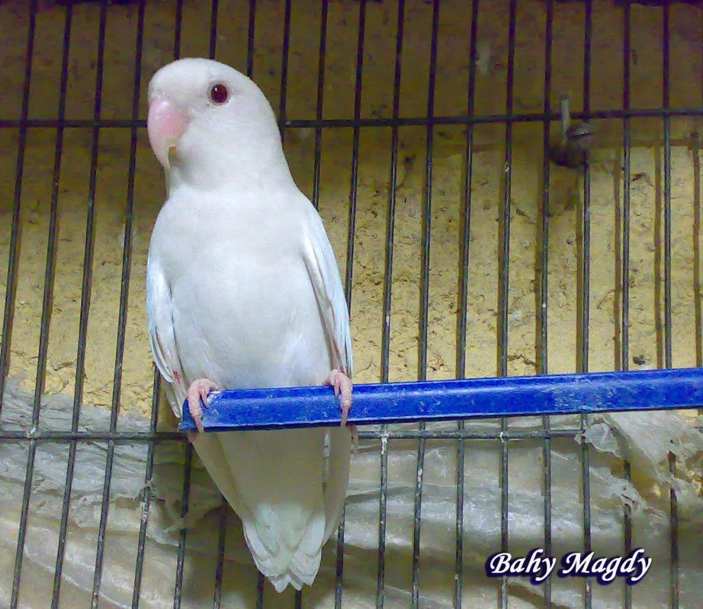 صور طيور الحب 42