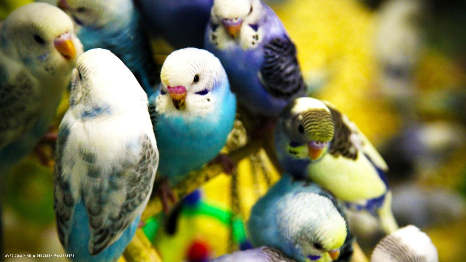 صور طيور الحب 44