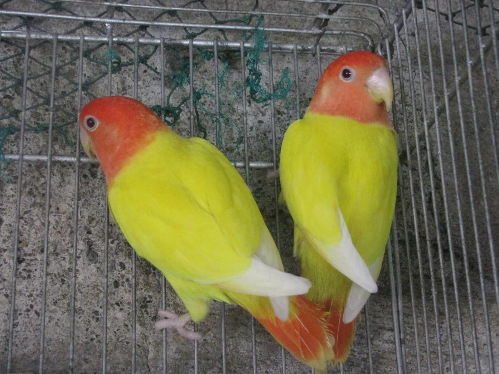 صور طيور الحب 45