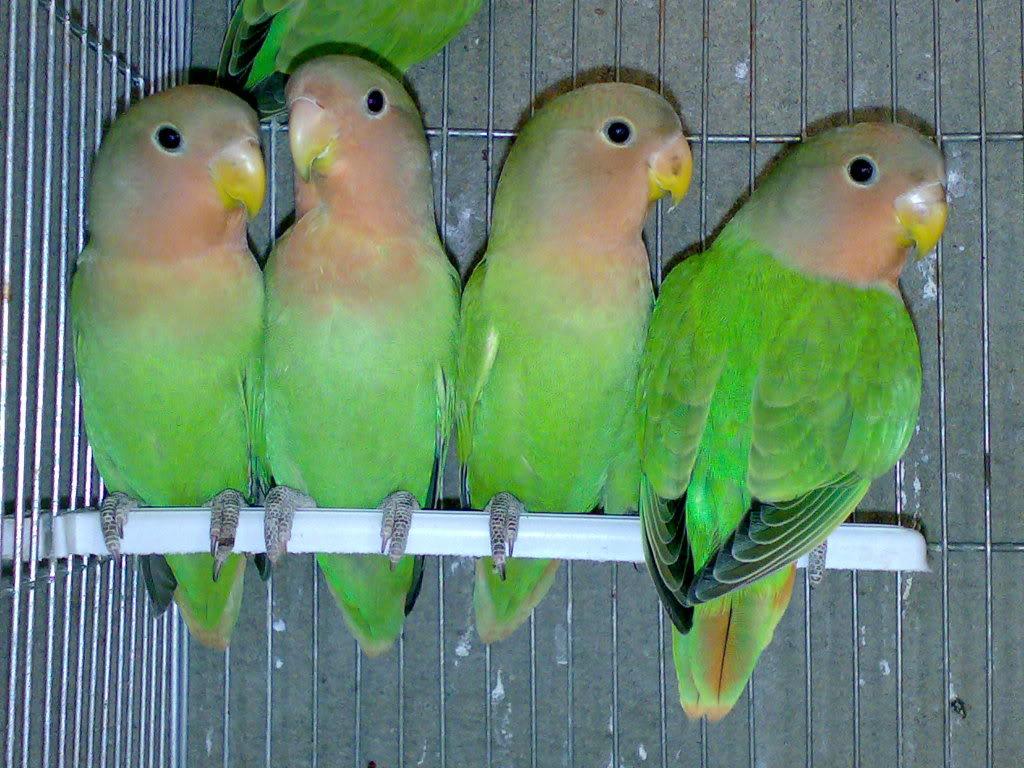 صور طيور الحب 46