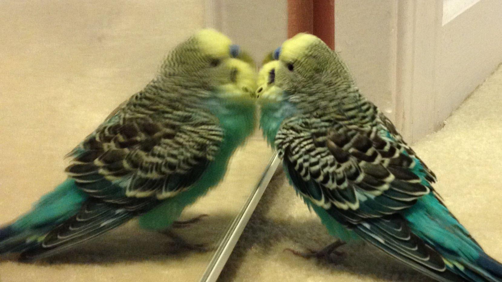 صور طيور الحب 47