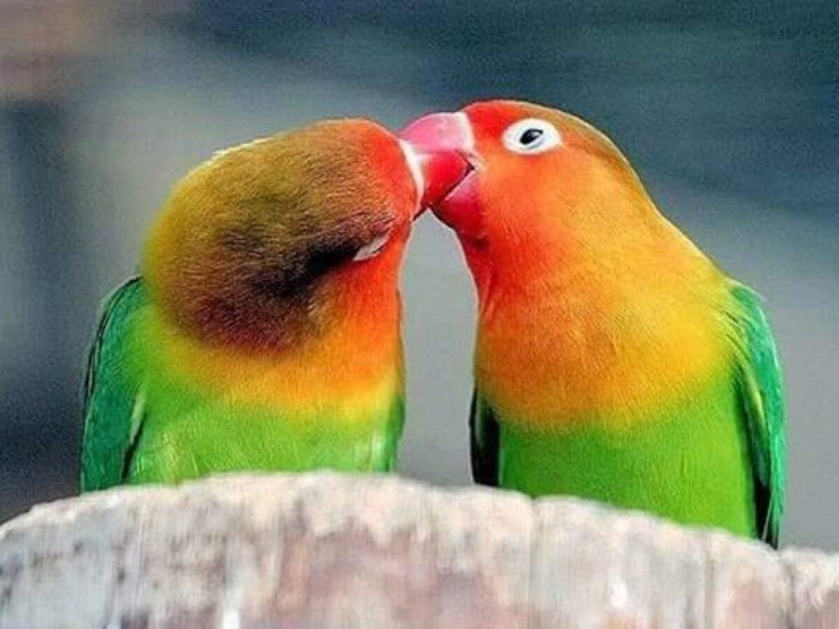 صور طيور الحب 5