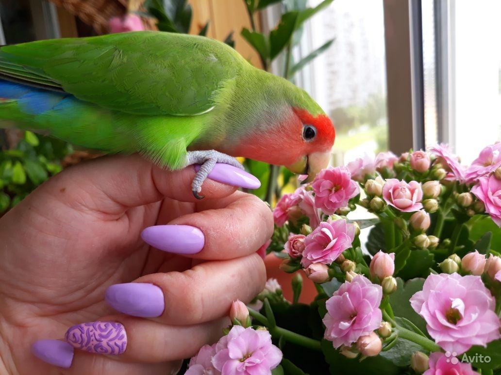 صور طيور الحب 50